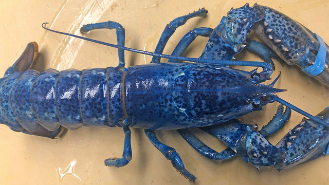 Extremely rare blue lobster turns up at a restaurant on Cape Cod