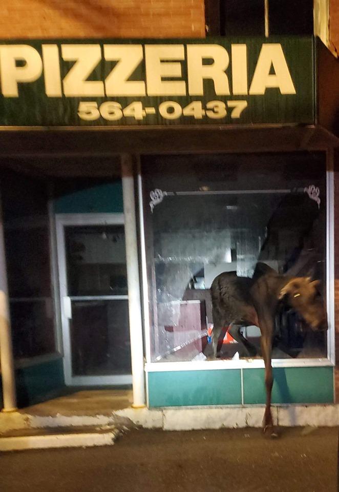 Moose smashes window of Maine pizza shop