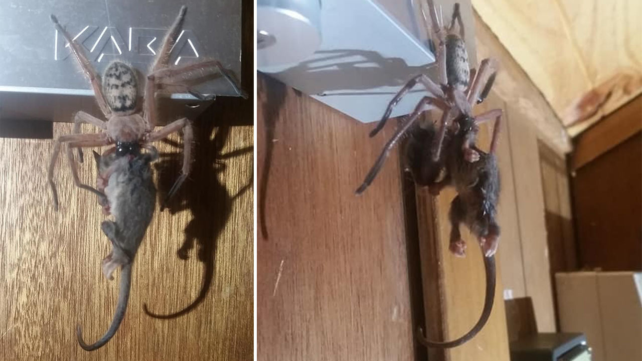 Guests witness massive huntsman spider eating a possum in their ski lodge