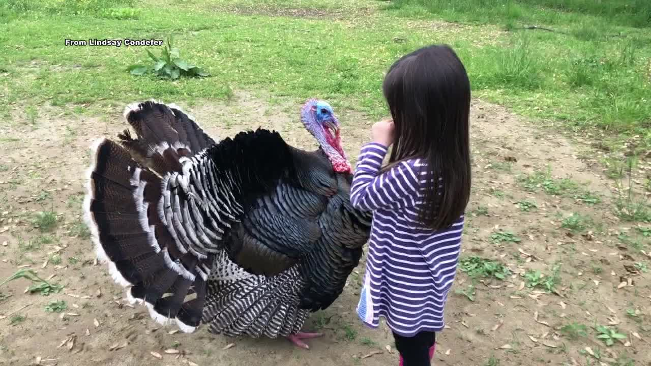 Medford woman reunited with lost pet turkey