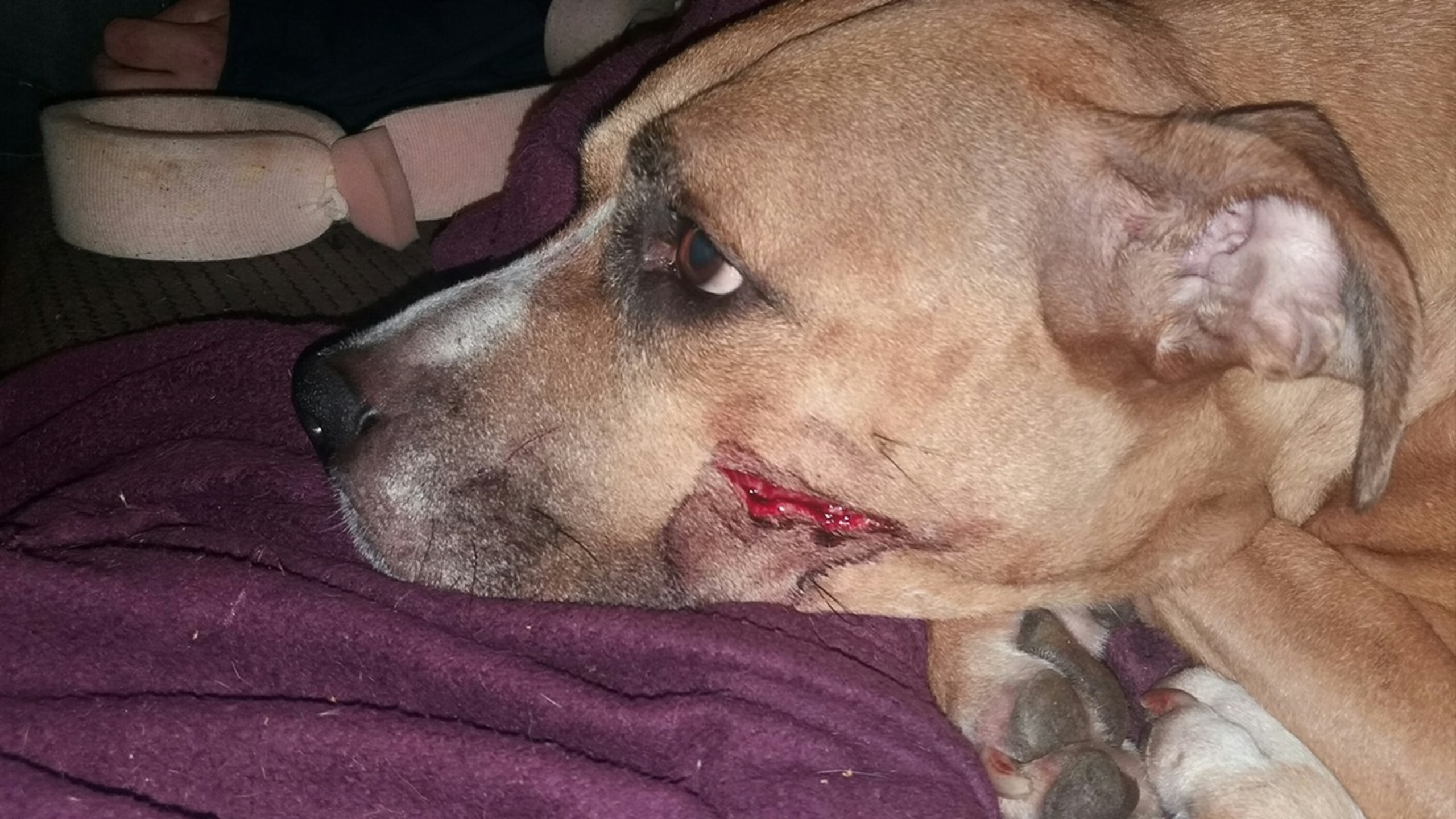 Machete-wielding robbers cut dog's face after she tried to stop them from stealing puppies