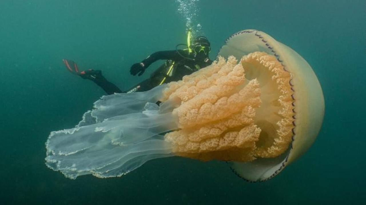 Giant, human-sized jellyfish spotted off English coast