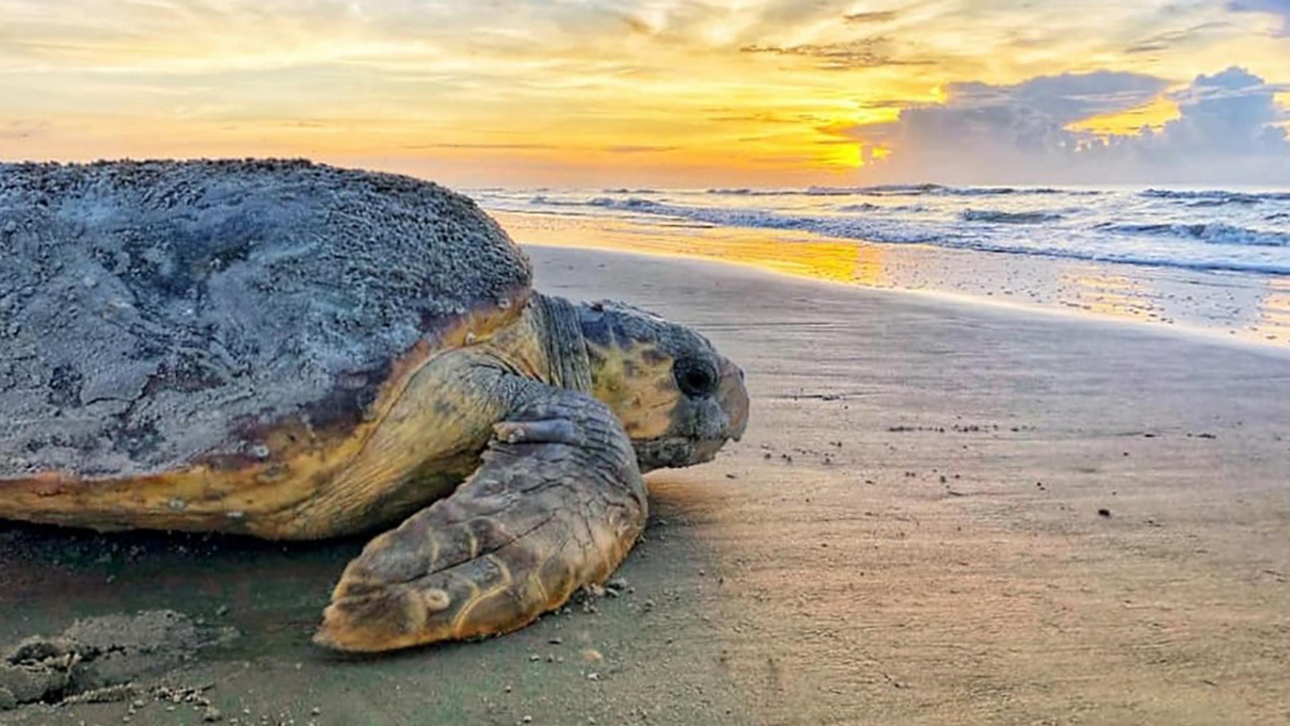 Rare sea turtles smash nesting records in southern states